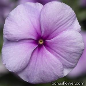 Катарантус SunStorm® Purple