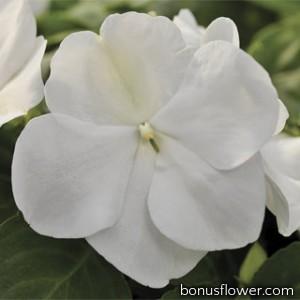 Бальзамин Уоллера Xtreme™ White
