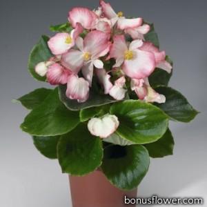 Бегония вечноцв Volumia Rose Bicolour