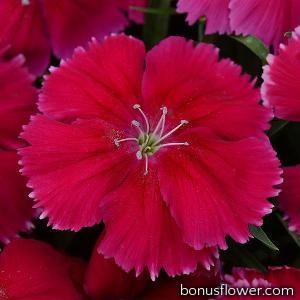 Гвоздика гибридная Coronet™ CHERRY RED