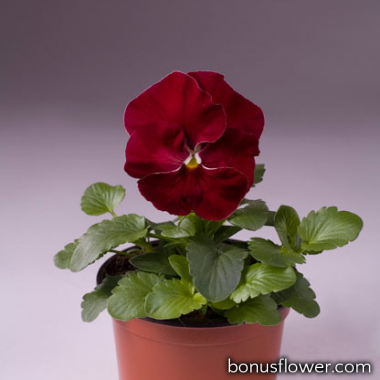 Виола Cello™ cherry rose