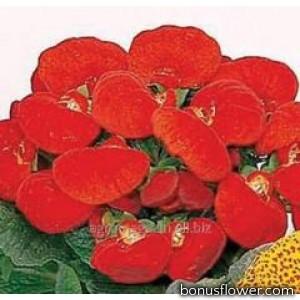 Кальцеолярия гибридн Dainty: Red