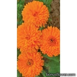 Календула махровая, оранжевая