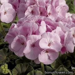 Пеларгония садовая BullsEye Light Pink