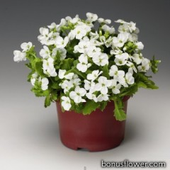 Арабис кавказск, Little Treasure™ White