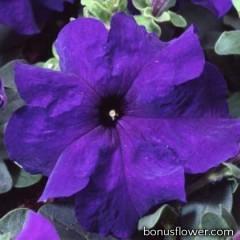 Петуния крупноцв Tango Blue