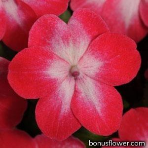 Бальзамин SUPER ELFIN® XP F1 RED STARBURST