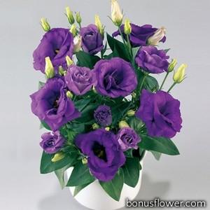Эустома (Лизиантус) Rosie Lavender Blue