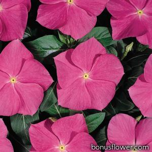 Катарантус роз Heatwave deep rose
