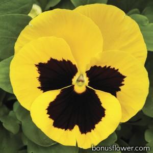 Виола Mammoth™ Queen Yellow Bee