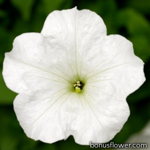 Петуния FotoFinish™ White