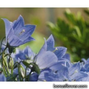 Колокольчик спирал, Alpine Breeze Blue