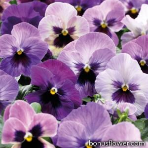 Виола Delta® F1 Purple Surprise