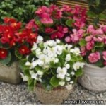 Бегония вечноцветущая - Begonia semperflorens