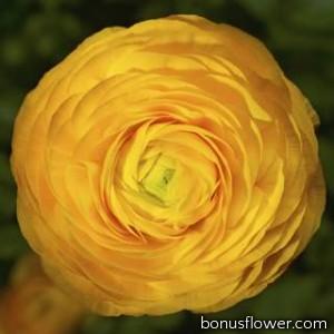 Лютик азиатский Magic™ Golden Yellow
