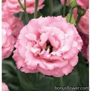 Эустома (Лизиантус) Corelli 3 Rose