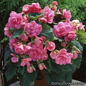 Бегония клубневая Amerihybrid Roseform Pink