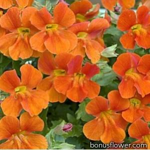 Мимулюс Mystic: Orange