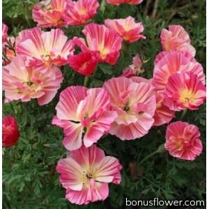 Эшшольция Frilled rose