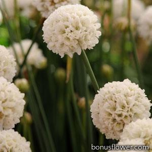 Армерия BALLERINA WHITE
