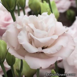 Эустома (Лизиантус) Corelli 2 Light Pink