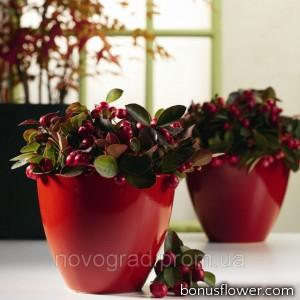 Гаультерия Winter Pearls™`Red Baron