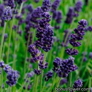 Лаванда узколистная - Lavance (h 25-30 cm) Deep Purple