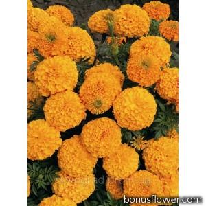 Бархатцы прямост Inca II™ Orange