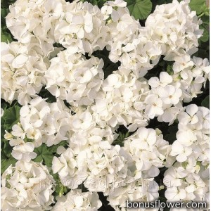 Пеларгония садовая Multibloom White