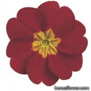Примула бесстеб. Danova: Red & Rose Shades