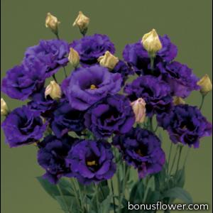 Эустома (Лизиантус) Corelli 3 Blue