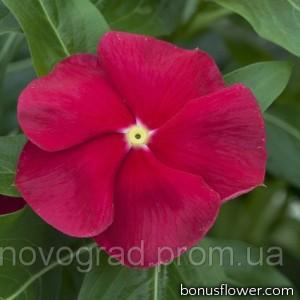 Катарантус розовый Cora® Red