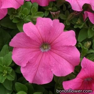 Петуния Prism Pink