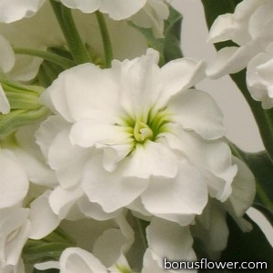 Левкой Katz Hi  (h 80 cm) Double White