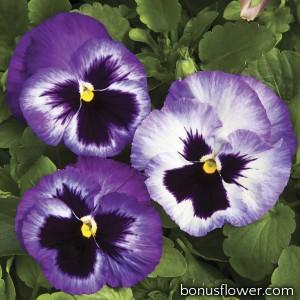 Виола  Colossus® F1 Lavender Surprise