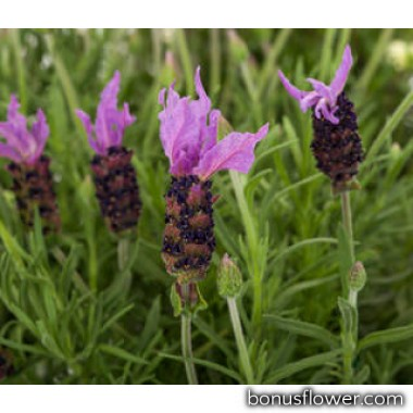 Лаванда Violeta purple XL
