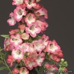 Пенстемон Хартвига F1 Arabesque™ Pink