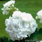 Пеларгония садовая МИНИ упаковка