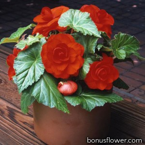 Бегония клубневая Amerihybrid Roseform Scarlet Orange