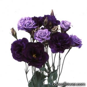Эустома (Лизиантус) Echo: Purple