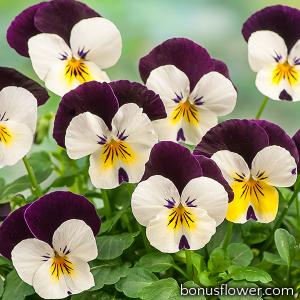 Виола рогатая Corina™ white purple wing improved