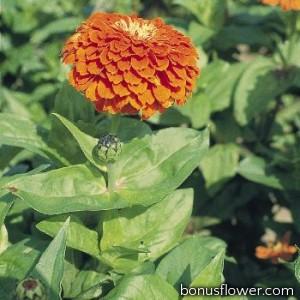 Цинния Benary's Giant™: Orange