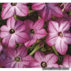 Табак  Saratoga™ Purple Bicolor