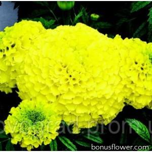 Бархатцы прямост Perfection™ Yellow