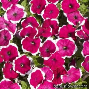 Петуния мелкоцветковая Bella F1 Picotee Rose