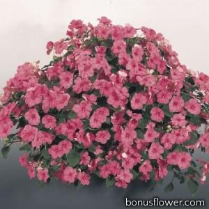 Бальзамин Tempo: Deep Pink