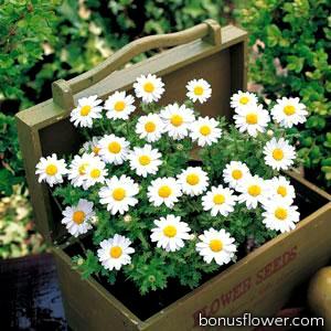 Ромашка (хризантема болотная) Snowland White