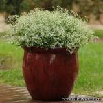 Молочай - Euphorbia graminea