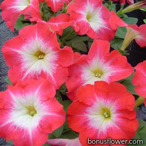 Петуния многоцветковая Lambada Scarlet Morn
