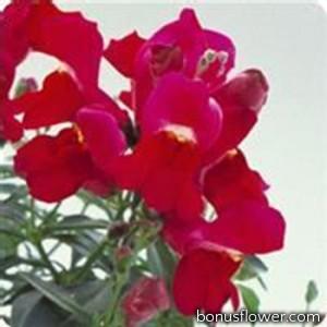 Львиный зев  - Floral Showers: Purple